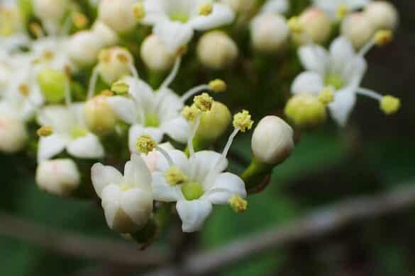 Kalina hordowina kwiaty