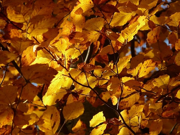 Buk jesienią