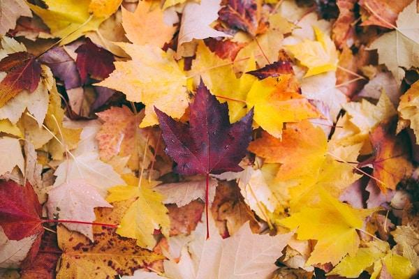 Opadłe liście klonu