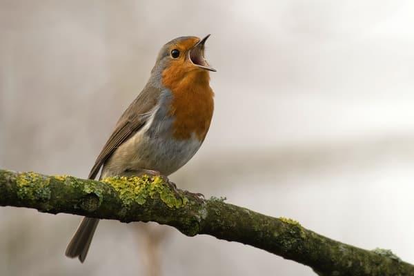 Śpiewający rudzik