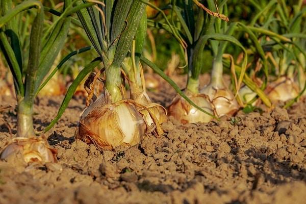 Uprawa cebuli