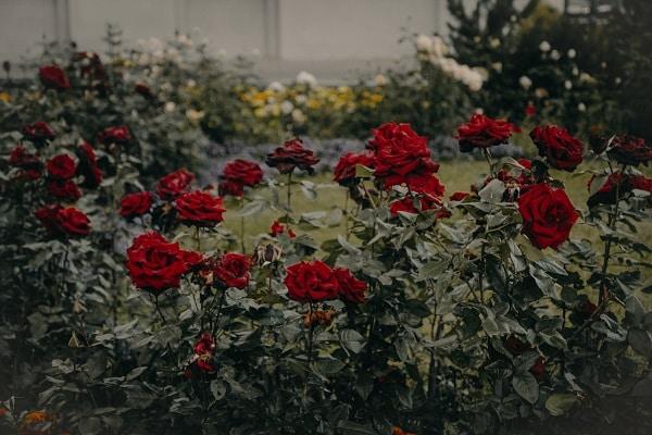Żywopłot z róż