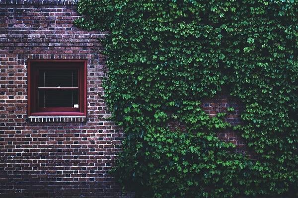 Bluszcz na ścianie domu