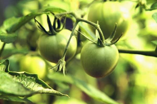 Niedojrzałe pomidory