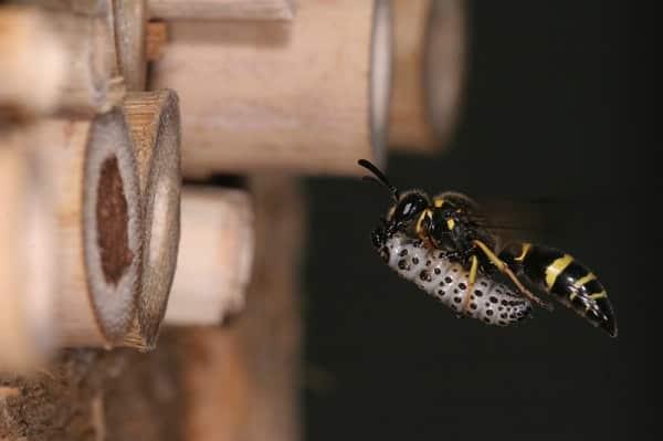 Osa wlatująca do hotelu dla owadów
