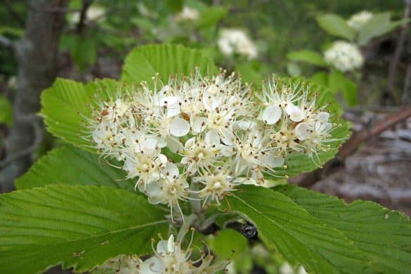 Jarząb mączny kwiaty