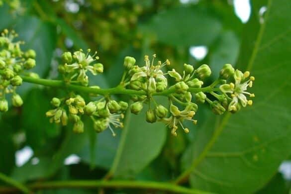 Bożodrzew gruczołowaty kwiaty