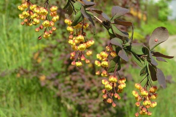 Berberys Thunberga kwiaty