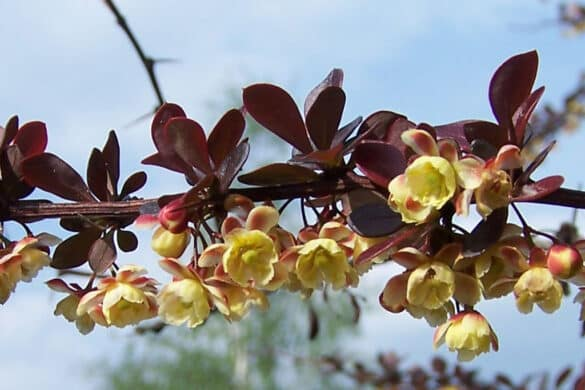 "Berberys Thunberga ""Atropurpurea"" kwiaty"
