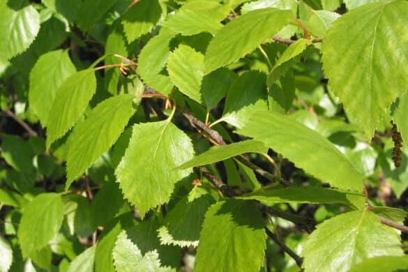 Liście brzozy omszonej