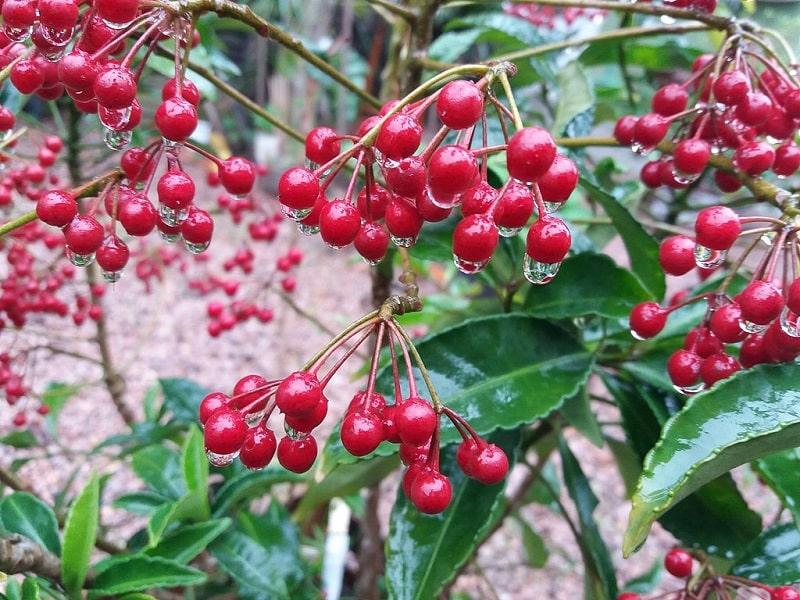 Ardizja karbowana owoce
