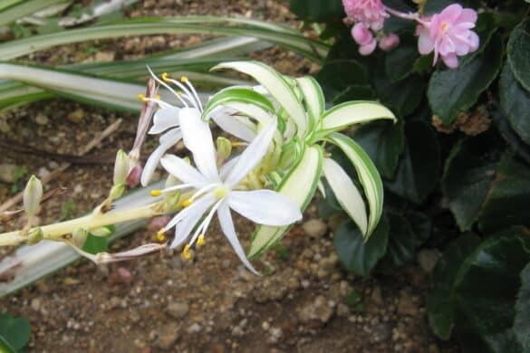 Zielistka Sternberga kwiay