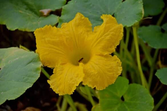 Dynia olbrzymia kwiat
