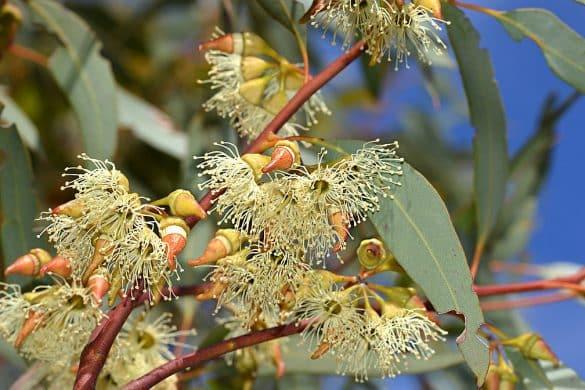Kwitnący eukaliptus dorrienii