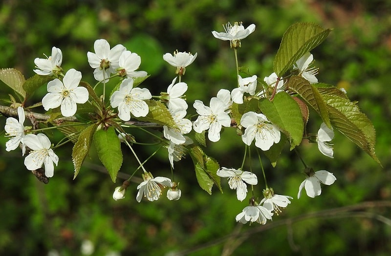 Czereśnia kwiaty