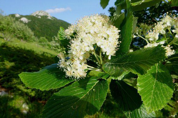 Jarząb mączny kwiaty 2
