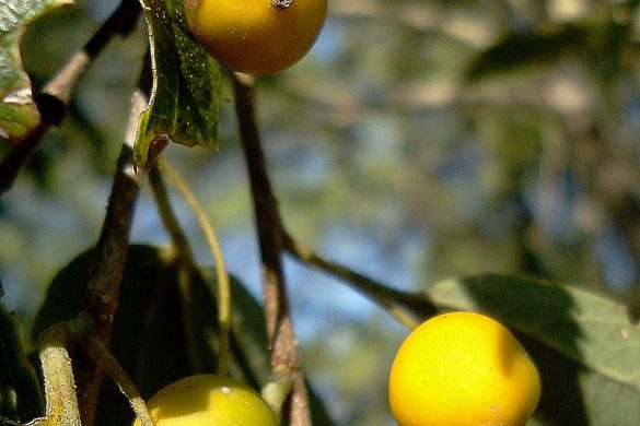 Wiązowiec południowy owoce