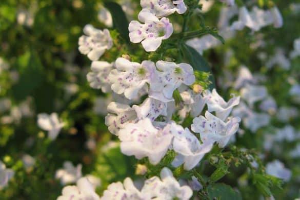 Kalaminta mniejsza kwiaty