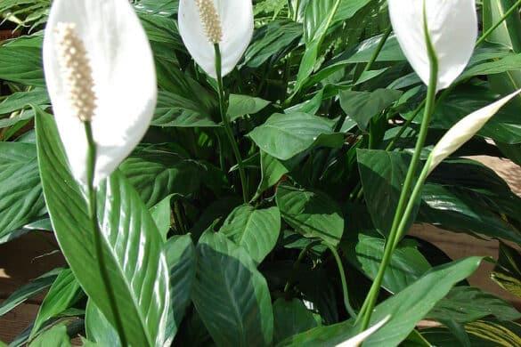 Skrzydłokwiat 4