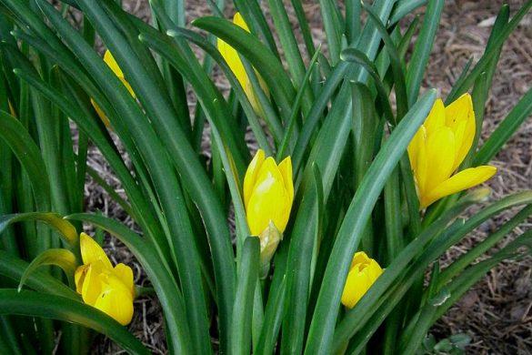 Sternbergia żółta 3