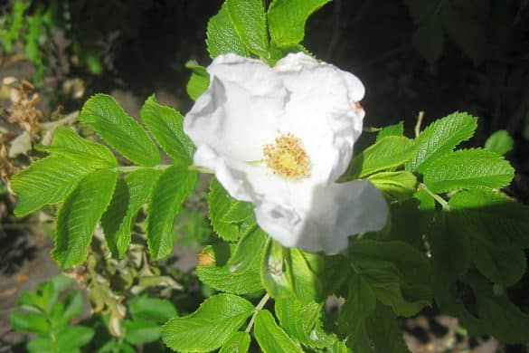 Róża pomarszczona 2
