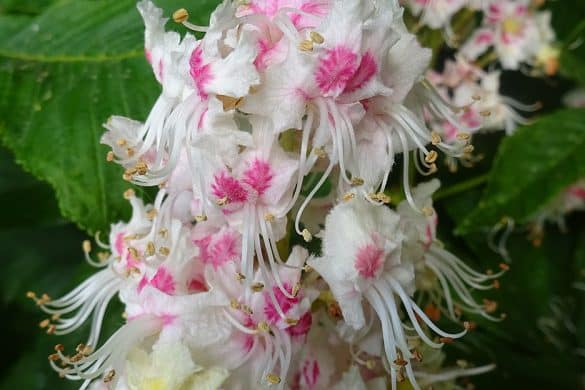 Kasztanowiec zwyczajny kwiaty