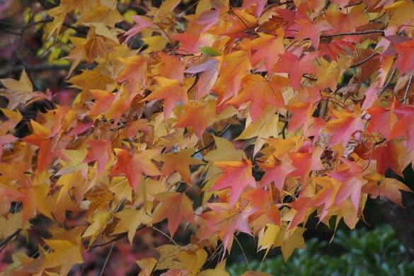 Ambrowiec balsamiczny liście