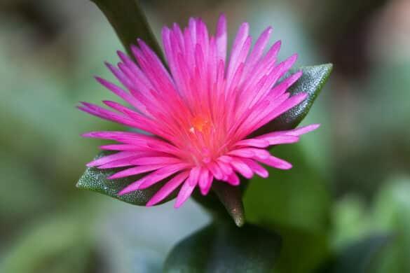 Aptenia sercolistna kwiat