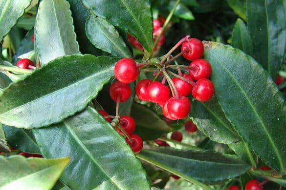 Ardizja karbowana liście i owoce
