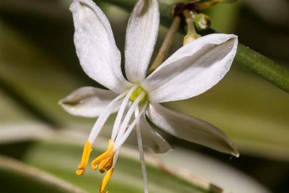 Zielistka Sternberga kwiat
