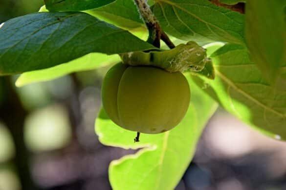Niedojrzały owoc hurmy wschodniej