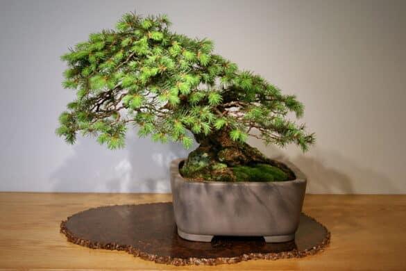 Daglezja zielona bonsai