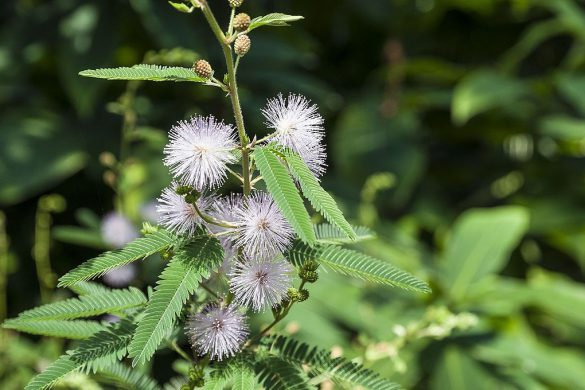 Mimoza wstydliwa kwiaty