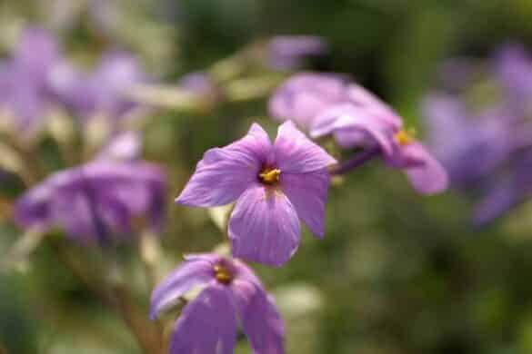 Floks rozłogowy 'Sherwood Purple'