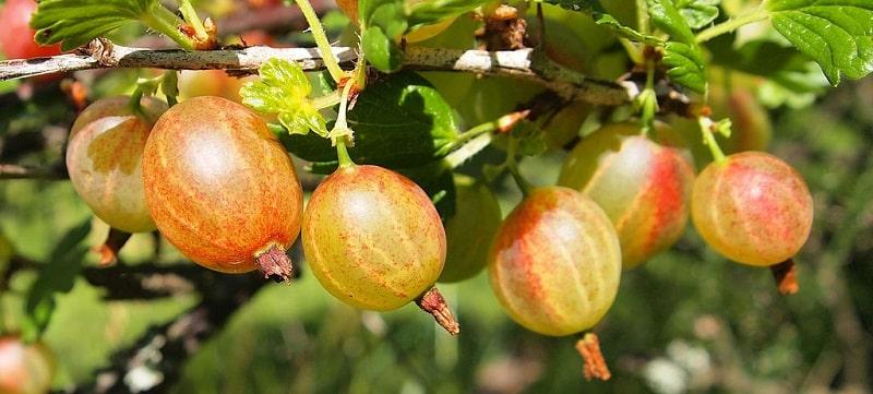 Owoce agrestu