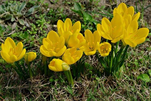 Sternbergia żółta 4