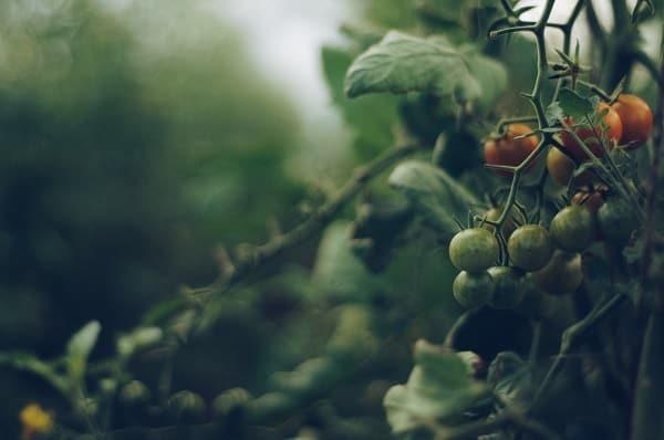 Pomidory potrzebują żyznej gleby