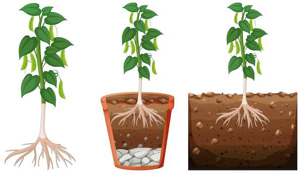głębokość korzenienia się warzyw strączkowych