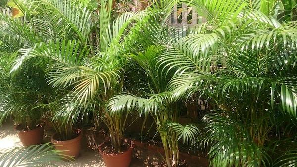 palmy areca