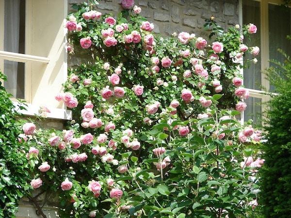 róża pnąca w czerwcu