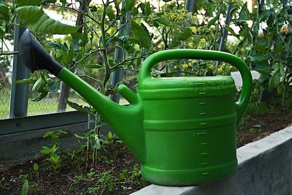 podlewanie warzywnika - lipiec w ogrodzie