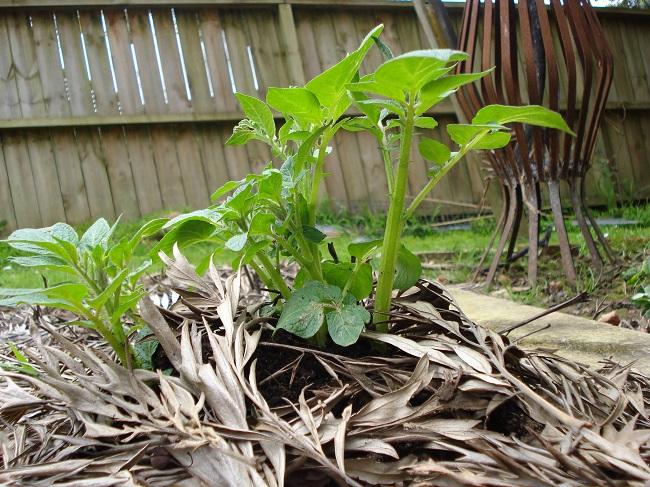 Wyciąg z zielonych pędów ziemniaka