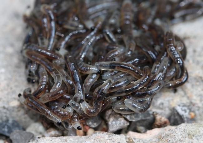 Białe robaki w doniczkach