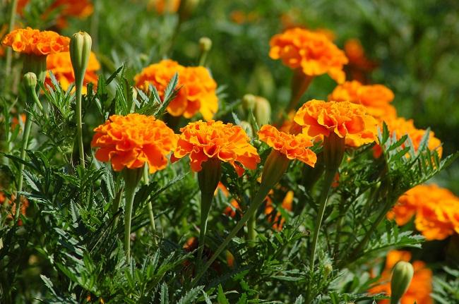 Kwiaty na balkon i taras TOP10 - Aksamitki
