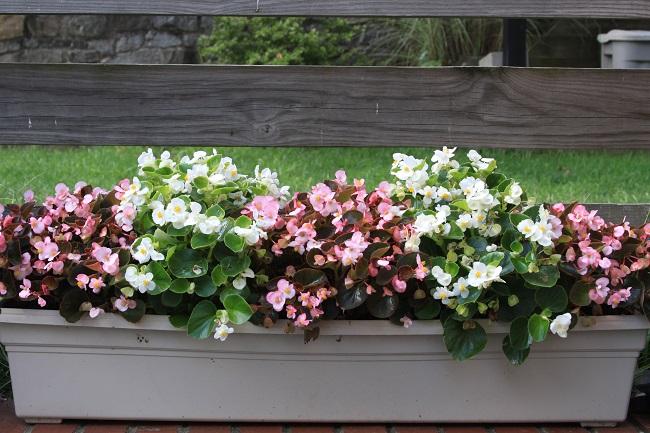 Kwiaty na balkon i taras TOP10 - Begonie