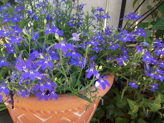 Kwiaty na balkon i taras TOP10 - Lobelia