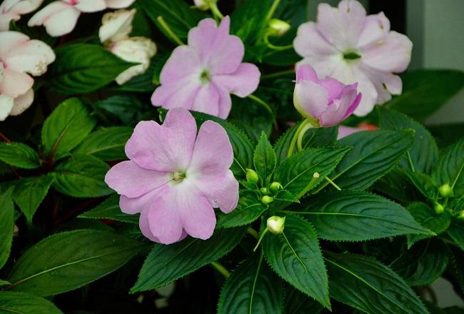 Kwiaty na balkon i taras TOP10 - Niecierpki