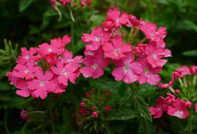 Kwiaty na balkon i taras TOP10 - Werbena