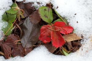 Pielęgnacja truskawek po zimie