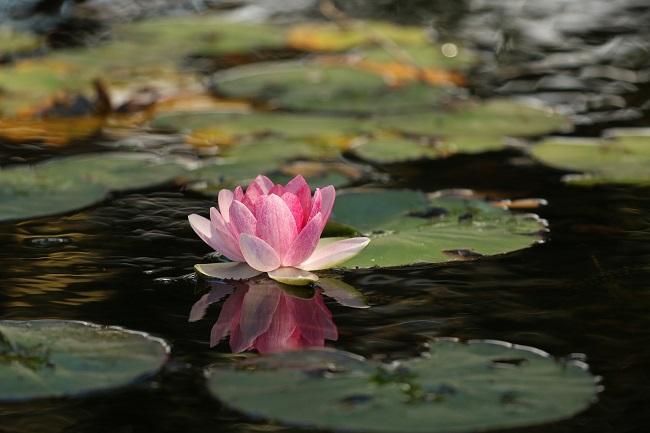Ogród chiński - Kwiat lotosu